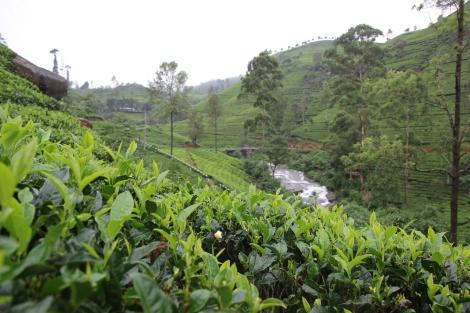 La fábrica de té Mackwoods Labookelie
