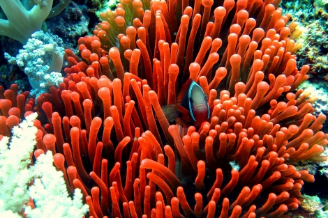 Anémona pez payaso Filipinas