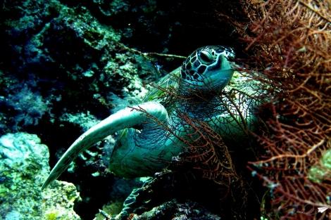 Bucear con tortugas Filipinas