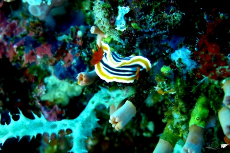 Nudibranquio Bohol