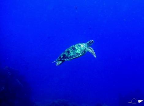 Tortuga buceo Balicasag